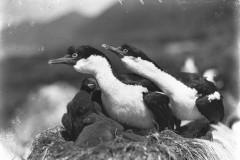Cormorani che proteggono il nido, Macquarie Island. Fotografia di Frank Hurley