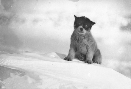 Blizzard, il cucciolo in Antartide. Fotografia di Frank Hurley