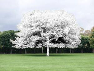 Mikael Christian Strøbek - Chalk Tree (Chalk sprayed onto exsisting tree), 2012