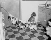 10 cuccioli in calze bianche su un laccio mentre il cane madre guarda, anni '60