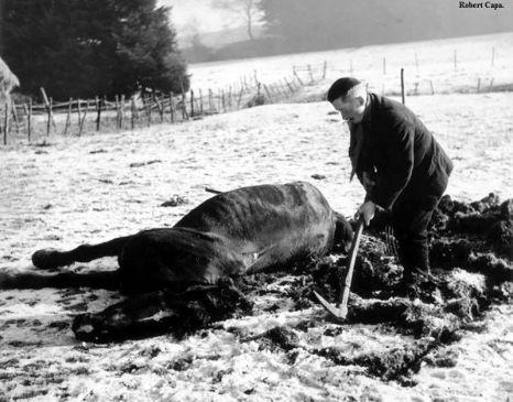 Bastogne, 23-26 dicembre, 1944. Un contadino seppellisce il suo cavallo che era stato ucciso durante La battaglia dei giganti (Battle of the Bulge)