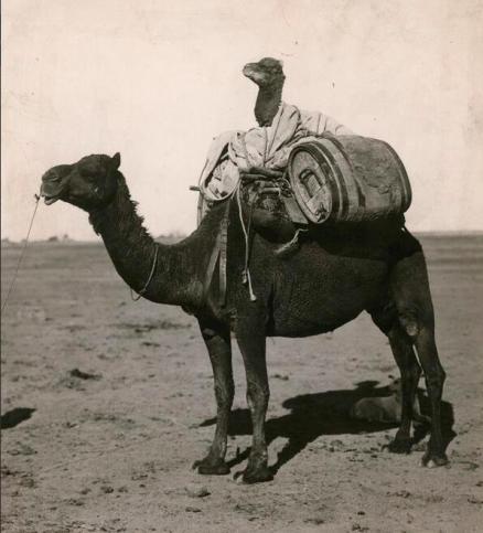Un cammello su un cammello nell'Australia occidentale, 1916. Foto di C.P. Scott