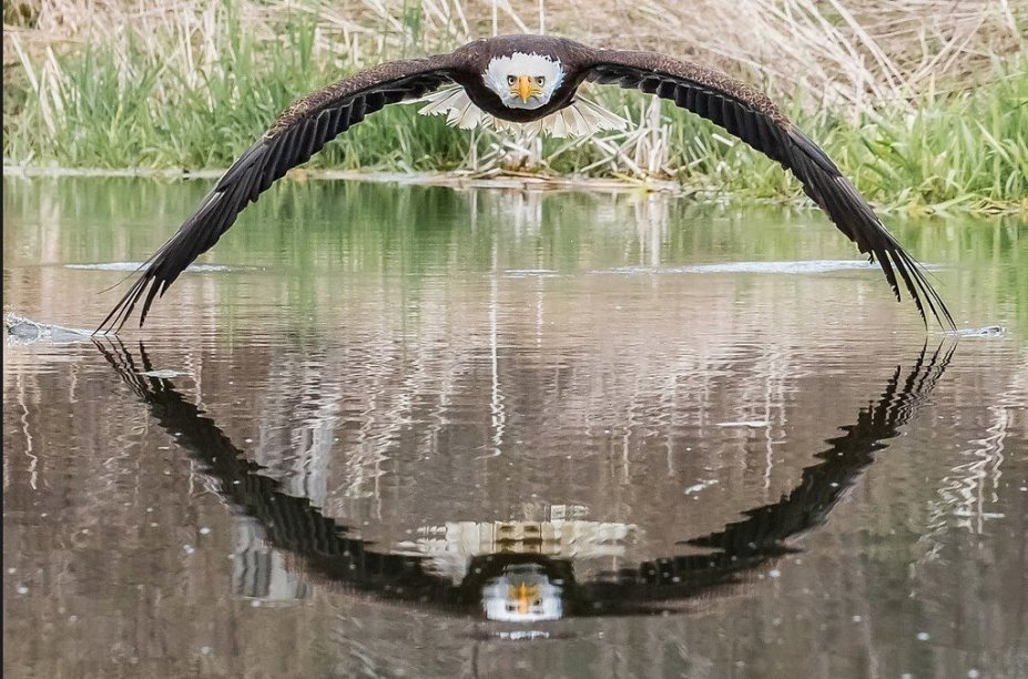 Photographer Steve Biro is the author of this amazing snapshot of an eagle and its symmetrical reflection in the water