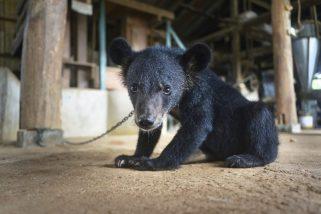 """Questo cucciolo di orso tibetano è stato confiscato in Thailandia. Il commercio di orsi vivi prospera in Asia, per soddisfare la domanda di carne e prodotti medicinali. Si stima che 20.000 """"orsi della bile"""" siano tenuti prigionieri in Vietnam, Cina, Laos, Myanmar, Corea del Sud e """"munti"""" due volte al giorno per l'estrazione della bile ©Adam Oswell"""