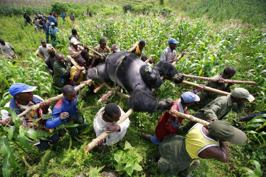 Rangers e abitanti del luogo trasportano il corpo di un gorilla di montagna maschio, uno dei sette colpiti in un singolo attacco nel Parco Nazionale Virunga, Repubblica Democratica del Congo. I gorilla sono stati uccisi come avvertimento ai ranger che indagavano sull'abbattimento degli alberi all'interno del parco per il commercio illegale di carbone ©Brent Stirton