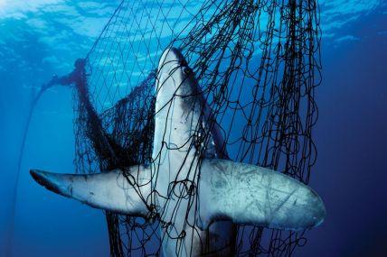 Uno squalo impigliato in una rete da posta nel mare di Cortez in Messico. Milioni di squali muoiono ogni anno vittime del bycatch fishing mentre altri milioni sono cacciati deliberatamente per le loro pinne, per soddisfare l'insaziabile appetito dell'Asia per la zuppa di pinne di squalo. ©Brian Skerry