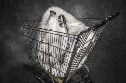 Una pelle di orso polare confiscata, conservata presso il deposito dell'U.S. Fish and Wildlife Service, Denver, Colorado. Circa 1000 orsi polari vengono cacciati ogni anno, legalmente e illegalmente, per soddisfare la richiesta di pelli in Estremo Oriente ©Britta Jaschinski