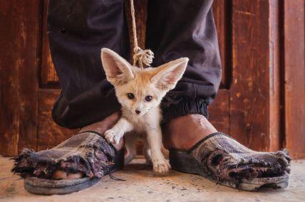 L'immagine di Bruno D'Amicis di un cucciolo di volpe Fennec che è stato venduto a un turista dopo essere stato catturato nel deserto in Tunisia. (Kebili Governorate, Tunisia, maggio 2012)