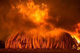 Il 30 aprile 2016, il Kenya ha messo in scena la sua più grande bruciatura di avorio di sempre - 105 tonnellate al Parco Nazionale di Nairobi. © Charlie Hamilton James