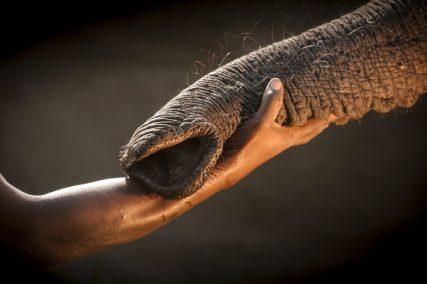 Mano e proboscide si intrecciano. Sono il simbolo del legame di fiducia tra un elefante orfano ed un essere umano, colui che ha accudito l'animale fino al momento in cui è stato in grado di essere rimesso in libertà, Abu Camp, Okavango, Botswana ©Chris Packham