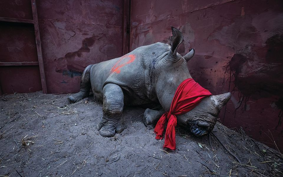 L'immagine di Neil Aldridge di un giovane rinoceronte bianco bendato, che è stato sedato per il trasporto per preservarlo dai bracconieri, è presente nel libro. Il prezzo del corno di rinoceronte sul mercato nero è più prezioso in peso dell'oro, dei diamanti o della cocaina, secondo uno studio