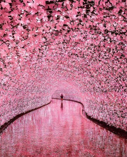 Cherry Blossoms (LED Tunnel) @ Nabana No Sato, Japan