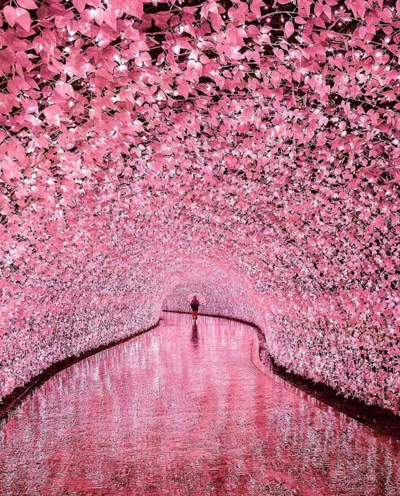 Cherry Blossoms (LED Tunnel) @ Nabana No Sato, Japan
