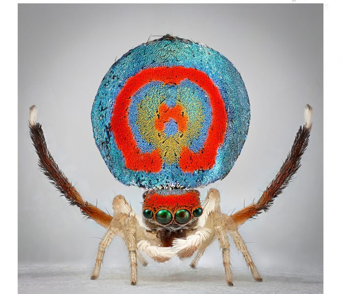Maria Fernanda Cardoso, Spiders of Paradise: Maratus speciosus from the Actual Size Series, 2018