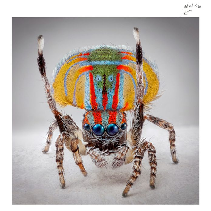 Maria Fernanda Cardoso, Spiders of Paradise: Maratus speciosus from the Actual Size Series, 2018deep focus microscopy pigment prints on premium photo paper, three elements, 152 cm x 152 cm x 4 cm, courtesy l'artista e PAC