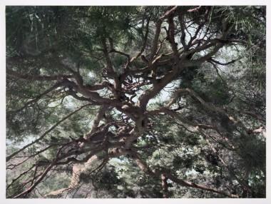 Shi Guowei, Pine, 2016
