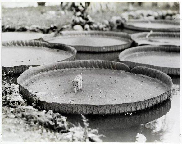 Un gattino a bordo di una ninfea galleggiante Victoria nelle Filippine, 1935