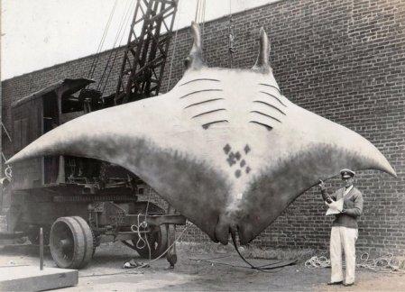 La cattura della grande manta da parte del capitano A.L Kahn nell'agosto 1933