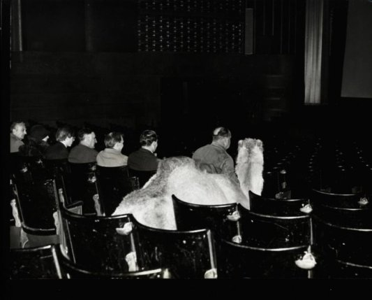 """Un cammello che assiste alla proiezione di """"Lawrence d'Arabia"""" a Sutton, 1962"""