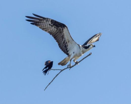 An opportunistic red-winged blackbird catches a ride on an osprey's stick', Michigan, USA. Photo by Jocelyn Anderson