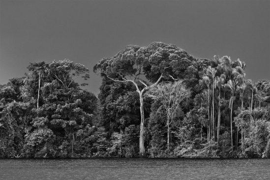 Un igapó, un tipo di foresta frequentemente inondata dall'acqua del fiume, con palme e altri alberi emergenti. Al centro della foto, un albero il cui tronco è ricoperto d'acqua: un'aldina (Aldina latifolia). A destra, una palma jauari (Astrocaryum jauari). Arcipelago di Anavilhanas, Parco Nazionale di Anavilhanas, Rio Negro inferiore. Stato dell'Amazzonia, 2019. Fotografia di Sebastião Salgado