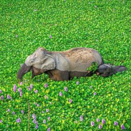Elephants wading through water hyacinth in Kaziranga National Park, India Photo by Kunal Gupta